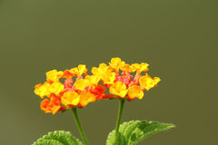 Orange lantana flower. Also known as Lantana camara, big sage, wild sage, red sage, white sage and tick berry, captured under natural environment, simple stock images
