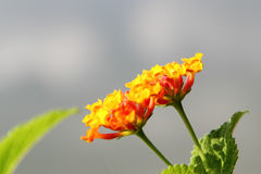 Orange lantana flower. Also known as Lantana camara, big sage, wild sage, red sage, white sage and tick berry, captured under natural environment, simple royalty free stock photo