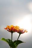 Orange lantana flower Royalty Free Stock Photography