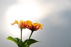 Orange lantana flower Stock Photo