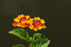 Orange lantana flower Stock Photos
