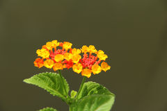 Orange lantana flower Stock Images
