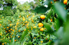 Orange lantbruk för tangerin Arkivfoton