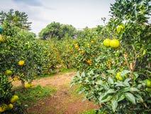 Orange lantbruk för tangerin Royaltyfri Foto