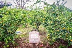 Orange lantbruk för tangerin för turism Royaltyfria Foton