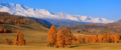 Orange larches on a background of mountains and blue sky