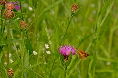 Orange large skipper on a pink thistle flower in high green grass, close-up. Orange large skipper on a pink thistle flower, selective focus with green bokeh royalty free stock photos