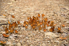 Orange Large yeoman butterfly on floor Royalty Free Stock Photography