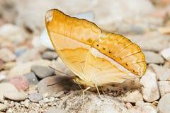 Orange Large yeoman butterfly Stock Image