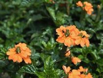 Orange lat för blommaFirecrackerblomma Crossandra infundibuliformis Royaltyfri Foto
