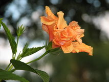 Orange Layered Hibiscus. Flower in Bloom royalty free stock photography