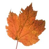 Orange leaf. A tree's leaf that is a blazing shade of orange royalty free stock photography