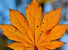 Orange leaf autumn red, orange, solar trees  the branch, maple leaf, Primorsky Krai. Orange leaf autumn red, orange, solar trees Royalty Free Stock Image