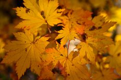 Orange leaf autumn red, orange, solar trees  the branch, maple leaf, Primorsky Krai Stock Images
