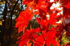 Orange leaf autumn red, orange, solar trees  the branch, maple leaf, Primorsky Krai. Orange leaf autumn red, orange, solar trees Royalty Free Stock Photography