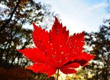Orange leaf autumn red, orange, solar trees  the branch, maple leaf, Primorsky Krai. Orange leaf autumn red, orange, solar trees nthe branch, maple leaf Stock Photography