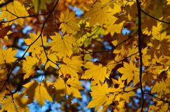 Orange leaf autumn red, orange, solar trees  the branch, maple leaf, Primorsky Krai. Orange leaf autumn red, orange, solar trees Stock Photography