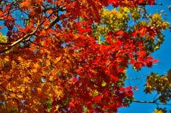 Orange leaf autumn red, orange, solar trees  the branch, maple leaf, Primorsky Krai Royalty Free Stock Image