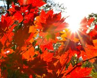 Orange leaf autumn red, orange, solar trees  the branch, maple leaf, Primorsky Krai. Orange leaf autumn red, orange, solar trees Stock Images
