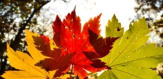 Orange leaf autumn red, orange, solar trees  the branch, maple leaf, Primorsky Krai Stock Photography