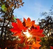Orange leaf autumn red, orange, solar trees  the branch, maple leaf, Primorsky Krai Royalty Free Stock Images
