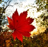 Orange leaf autumn red, orange, solar trees  the branch, maple leaf, Primorsky Krai Royalty Free Stock Photos