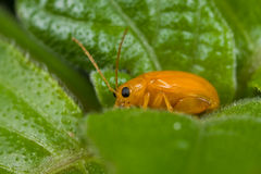 An orange leaf beetle Stock Photography