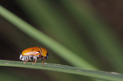 Orange leaf beetle Royalty Free Stock Photos