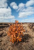 Orange leaf bush in a Peat bog landscape Royalty Free Stock Photos