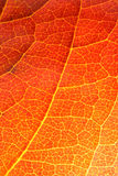 Orange leaf close-up royalty free stock photography