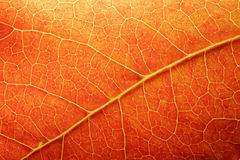 Orange Leaf Closeup. Macro of a colored leaf in fall Stock Photos