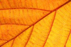 Orange leaf closeup Royalty Free Stock Image