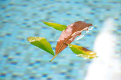 Orange leaf floating in pool with other green leaves clinging on around it. This natural and beautiful assortment of leaves on the Stock Images