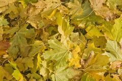 Orange leafs Stock Images
