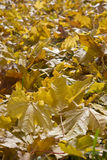 Orange leafs Royalty Free Stock Image