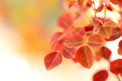Orange leaves. Small leaves of the plant Royalty Free Stock Photo