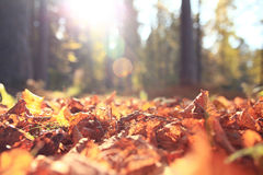 Orange leaves in autumn forest Stock Photo