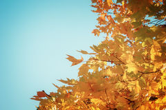 Orange leaves in autumn park Royalty Free Stock Photography