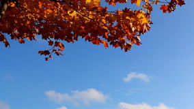 Orange leaves, blue sky. Yellow, orange, red and brown leaves in autumn swaying against blue sky and white cloud stock video
