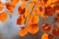 Orange leaves on branch Royalty Free Stock Photo