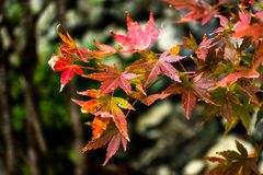 Orange leaves on branch of maple in autumn season. Selective focus at the orange leaves on branch of maple in autumn season on green nature background in Stock Images