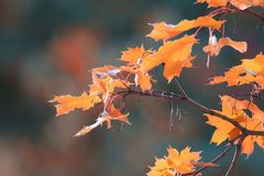 Orange leaves at  branches Stock Images