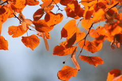 Orange leaves at  branches Royalty Free Stock Photos