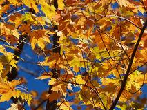 Orange Leaves Deep Blue Sky. Crispy orange leaves rest upon the branches of this tree. The deep blue sky is behind them on this vibrant autumn day Stock Image