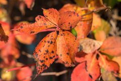 Orange leaves Royalty Free Stock Photo