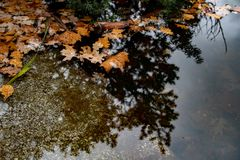Orange leaves fallen into pond. Water surface with blurry reflection of conifer tree and swimming oak and maple leaves. Picturesque view in autumn colors stock photos
