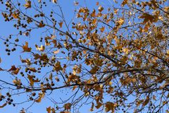 Orange leaves and fruits on a branch of plane tree on blue sky b Royalty Free Stock Images