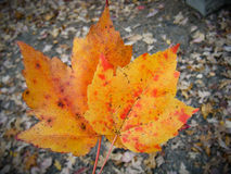 Orange Leaves. A highly detailed photograph of bright orange and red leaves in the autumn Royalty Free Stock Image