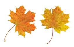 Orange leaves. Isolated on white Stock Photos