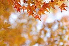 Orange leaves of japanese maple tree Royalty Free Stock Photo